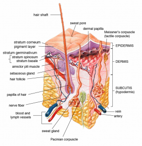 sweat gland